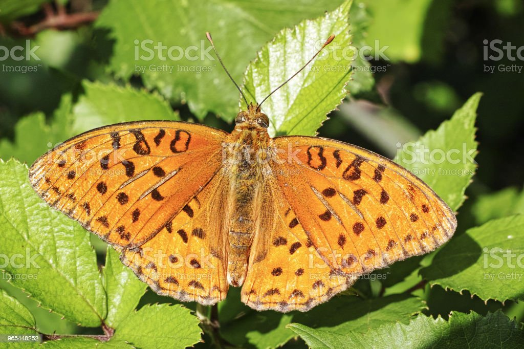 silver-washed fritillary royalty-free stock photo