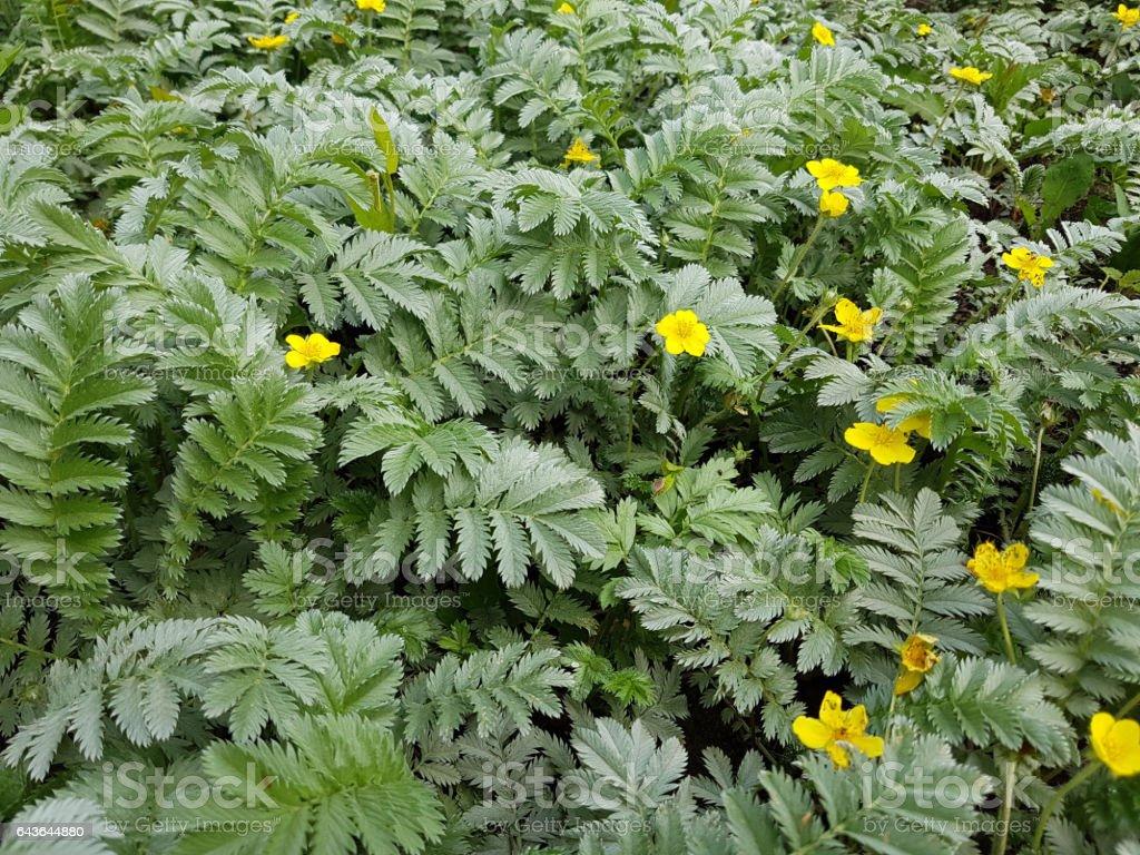 Silverweed shrub. Most popular varieties 33