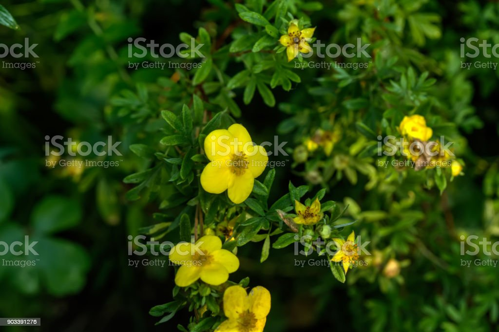 Silverweed. Cultivated flower. stock photo