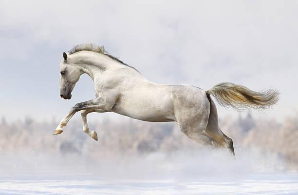 silver-white stallion - 種馬 個照片及圖片檔