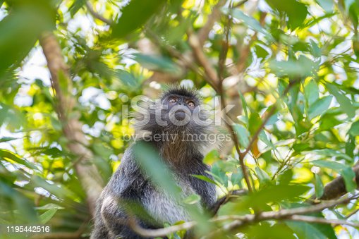 One Silvery lutung monkey sitting high up on the branch.