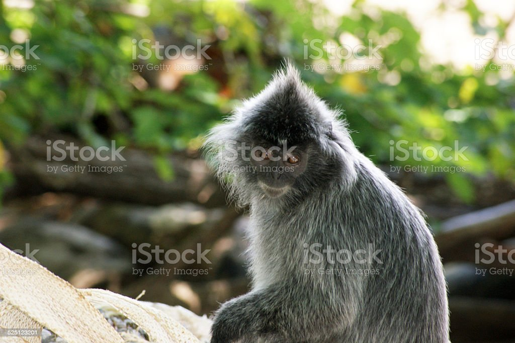 Silvery Lutung stock photo