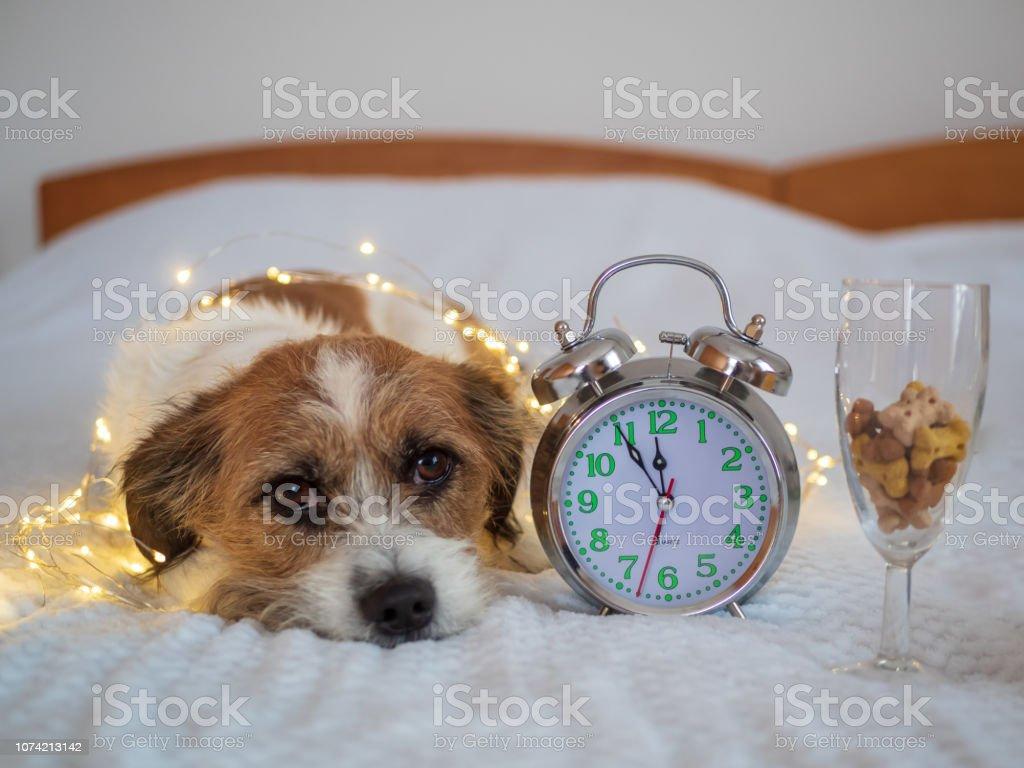 Silvester Hund Liegt Mit Einem Wecker Und Sektglas Auf Einer Weissen Decke Im Schlafzimmer Stock Photo Download Image Now Istock