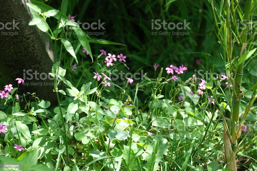 Silvestre rosado stock photo