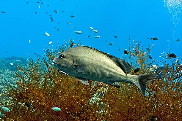 Silwer sweetlips fish stock photo
