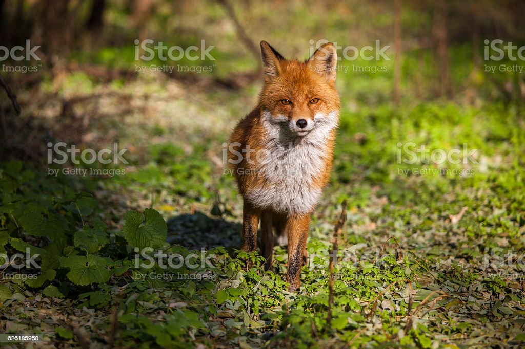 Simeon the Fox stock photo