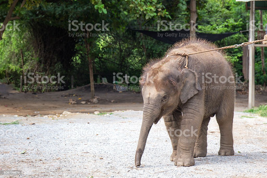 simgle 1 year baby Asian elephant – Foto
