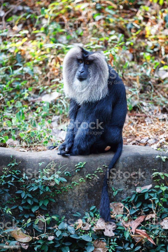 Simhavalan kurangu - Lion tailed macaque in in Trivandrum, Thiruvananthapuram Zoo Kerala India stock photo