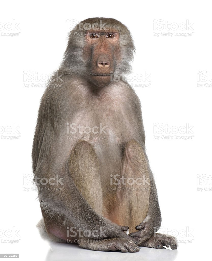 Simia hamadryas baboon sitting with knees drawn up stock photo