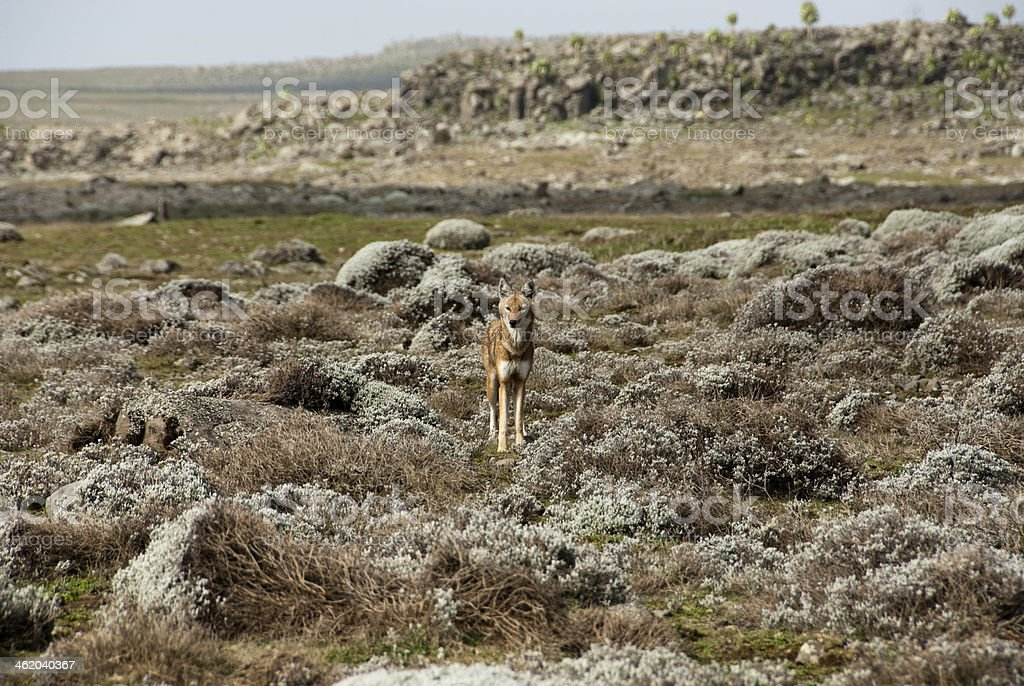 Simien wolf, Ethiopian Highlands stock photo