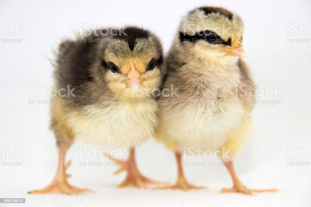 Similar But Different Baby Chickens Stock Photo More Pictures Of