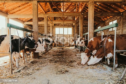 Simmental and Holstein Cows in a row at the barn