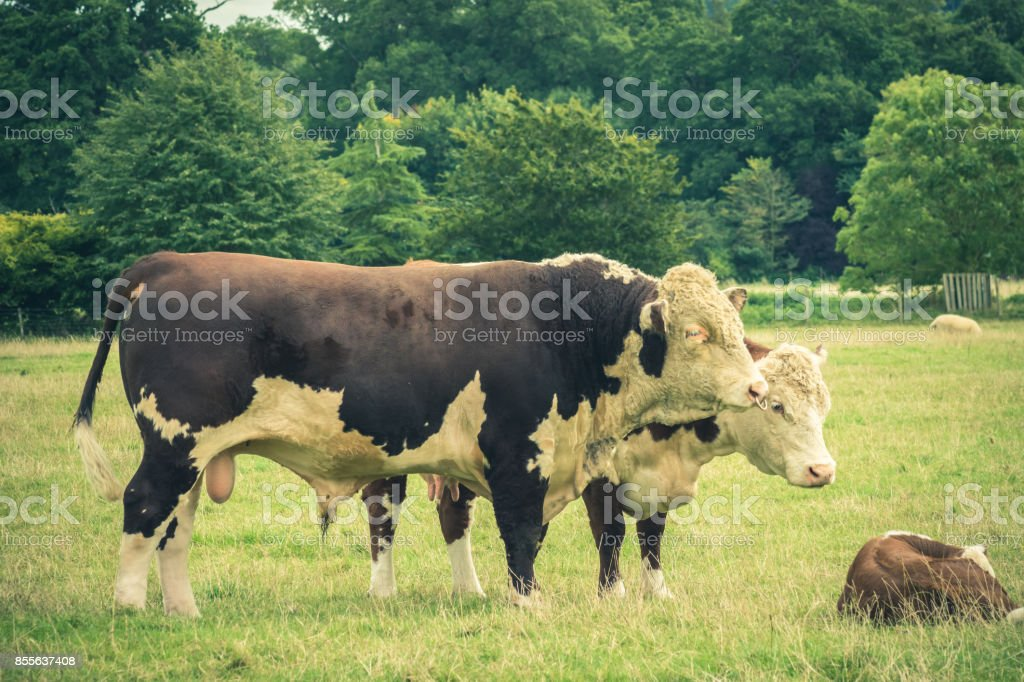 Simmental Bull and family close to  Lacock village, Wiltshire, England, UK stock photo