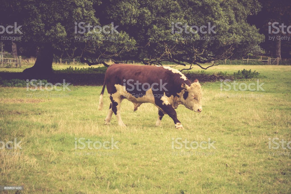 Simmental Bull in field close to  Lacock village, Wiltshire, England, UK stock photo