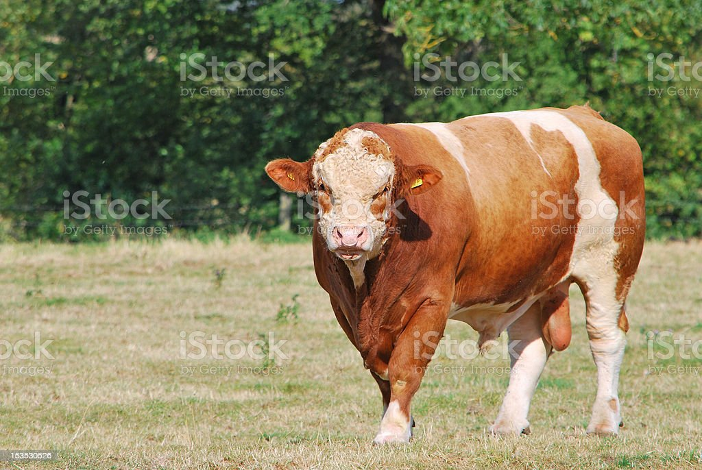 simmental bull stock photo