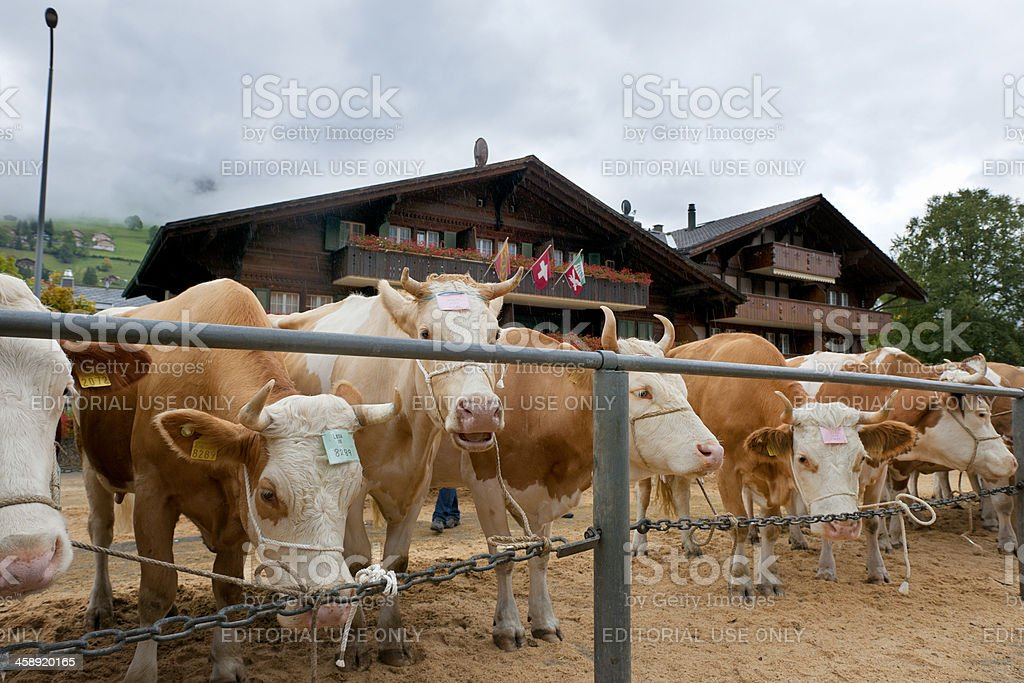 Simmental cattle for inspection on town square, Lenk Switzerland stock photo