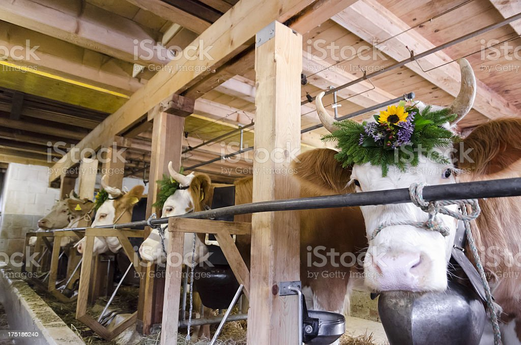 Simmental cattle getting ready for the cow beauty contest royalty-free stock photo