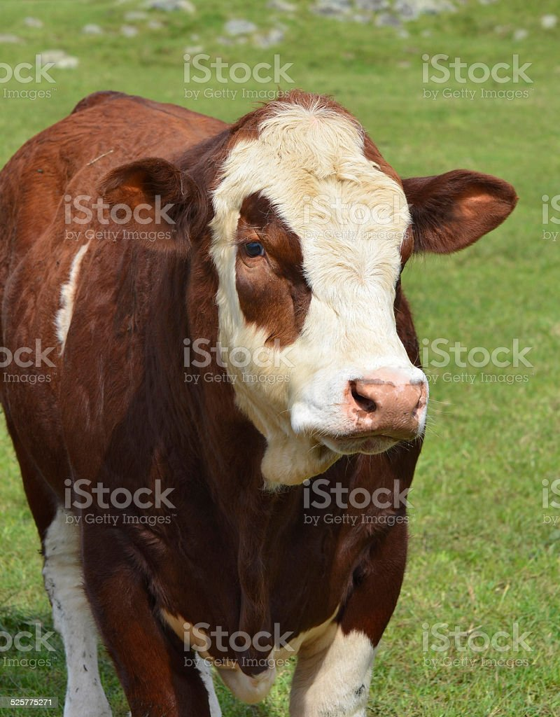 Simmental Cattle, New Zealand stock photo