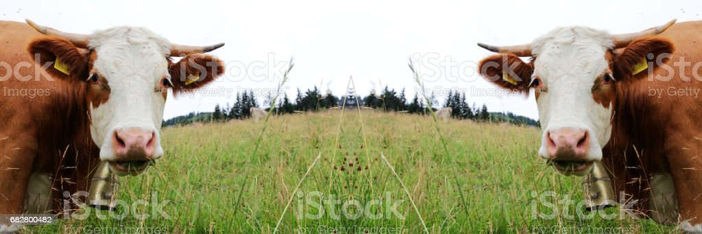 Simmental cattle on pasture stock photo