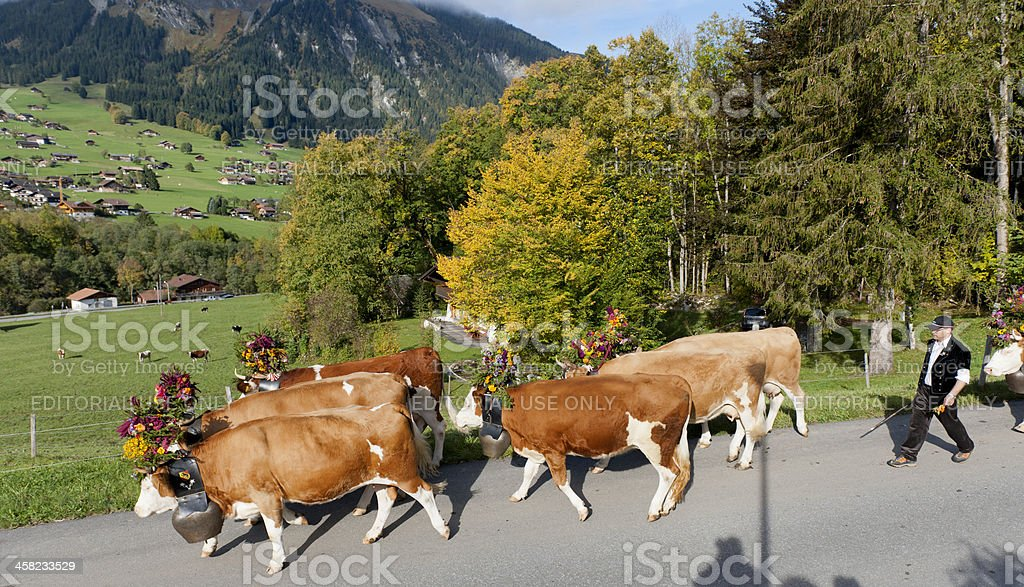 Simmental cattle with flower decoration walking down mountain stock photo