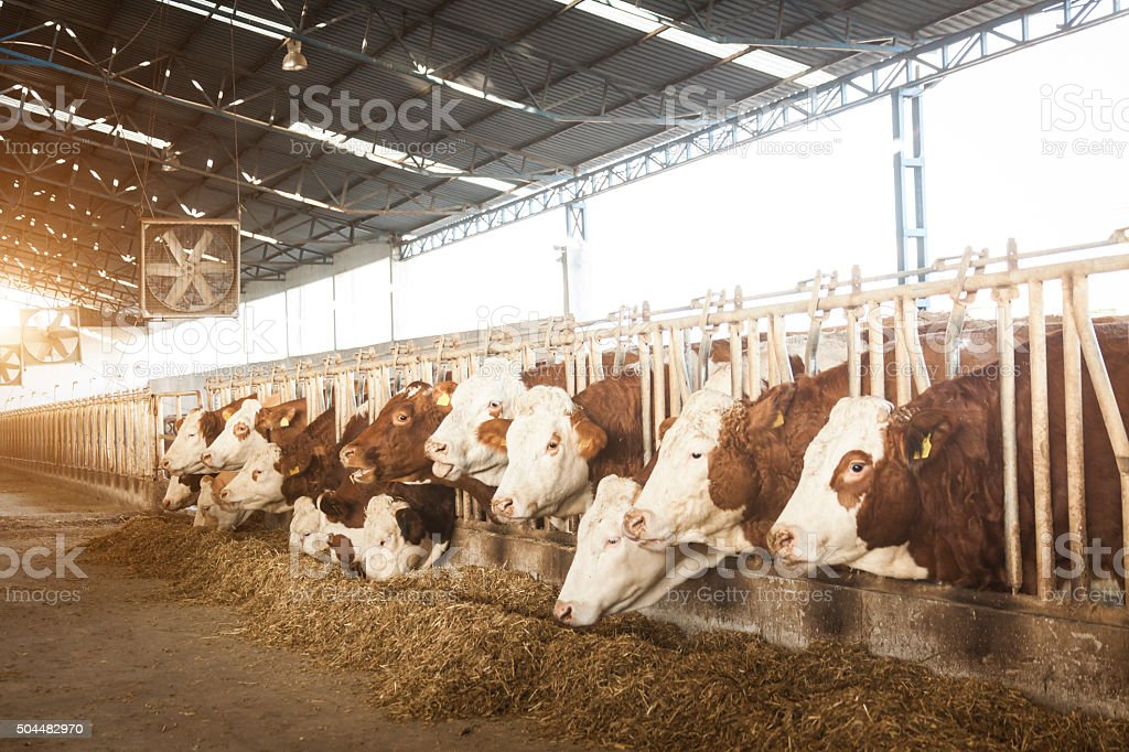 Simmental Cattles stock photo