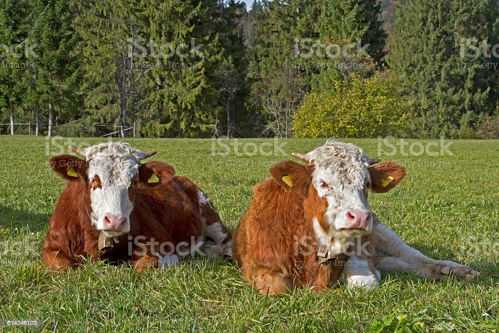 Simmental cows in Bavaria stock photo