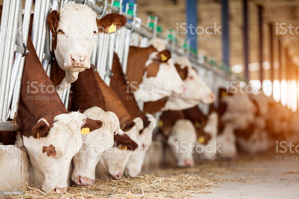 Simmental Kühe – Foto
