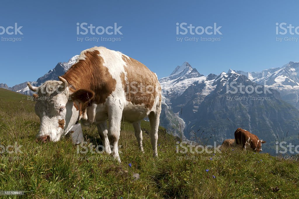 Simmentaler cow stock photo