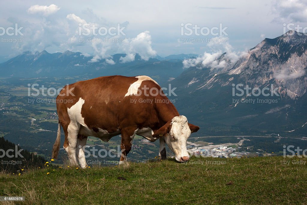 Simmentaler on mountain meadow stock photo