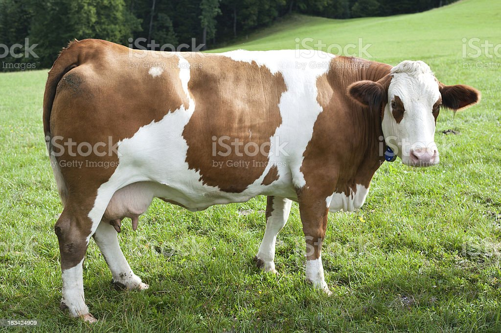 simmentaler stock photo
