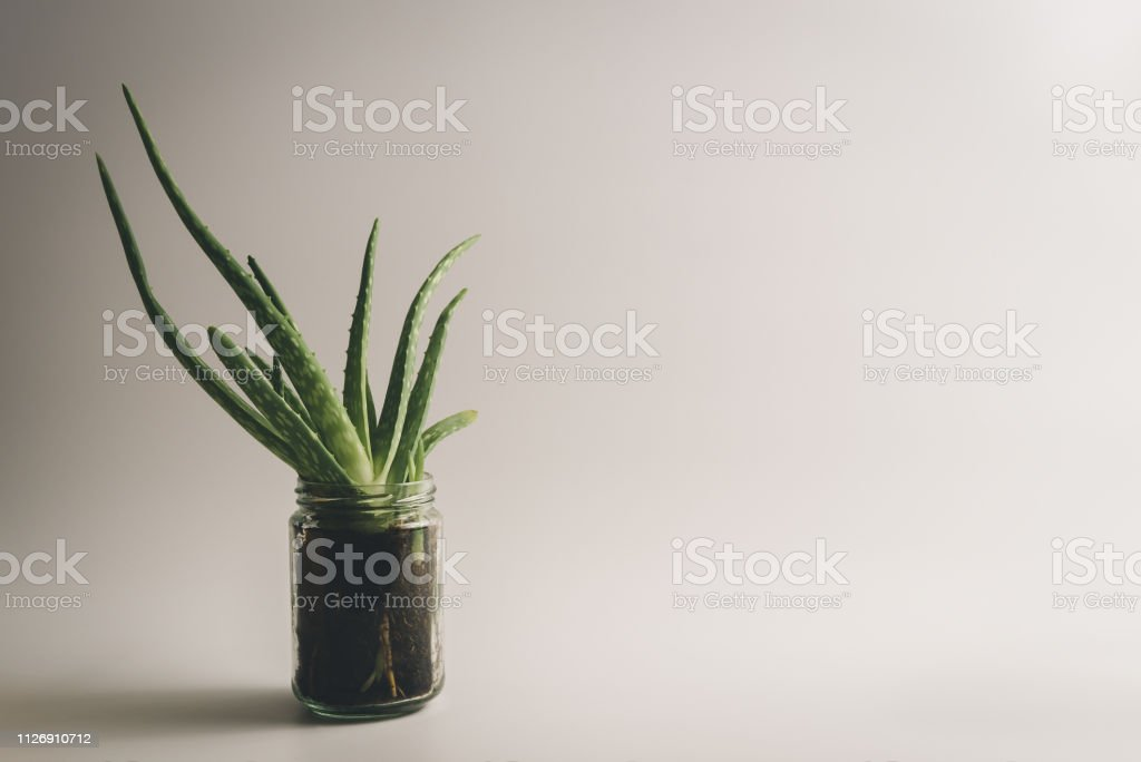 Simple And Healthy Green Aloe Vera Plant Used For Natural Alternative Medicine And Treatment On White Clean Background With Textspace Stock Photo Download Image Now Istock