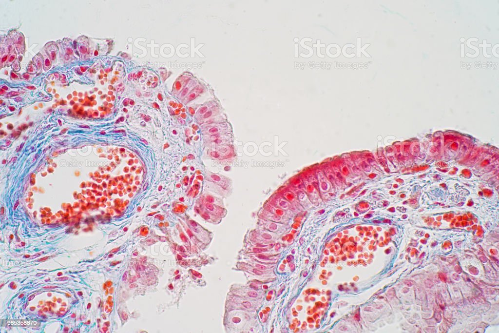 simple columnar epithelium is a columnar epithelium that is uni-layered. In humans stock photo