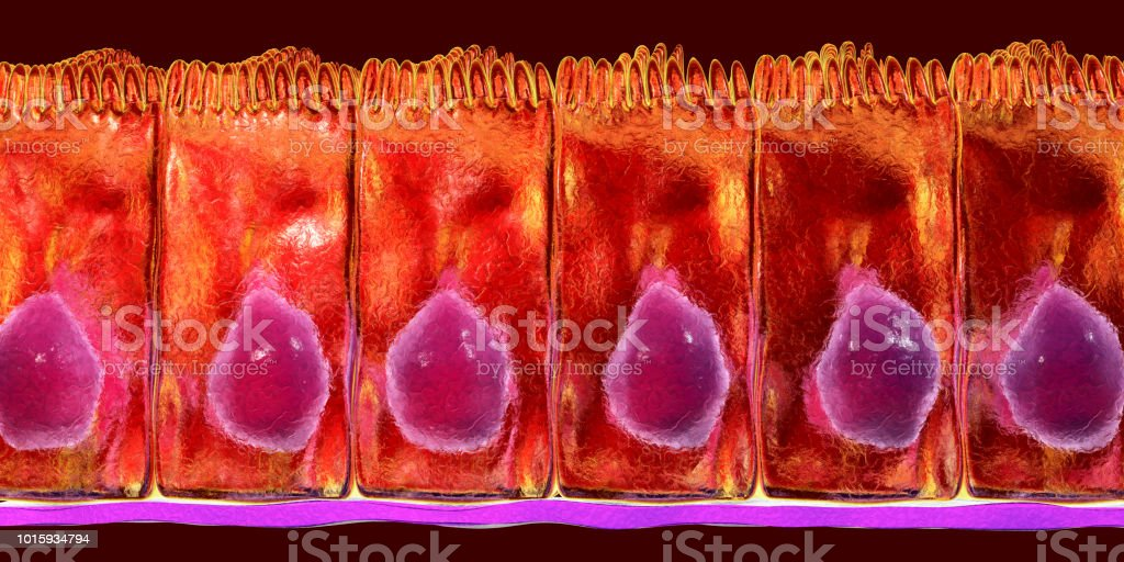 Simple columnar epithelium stock photo