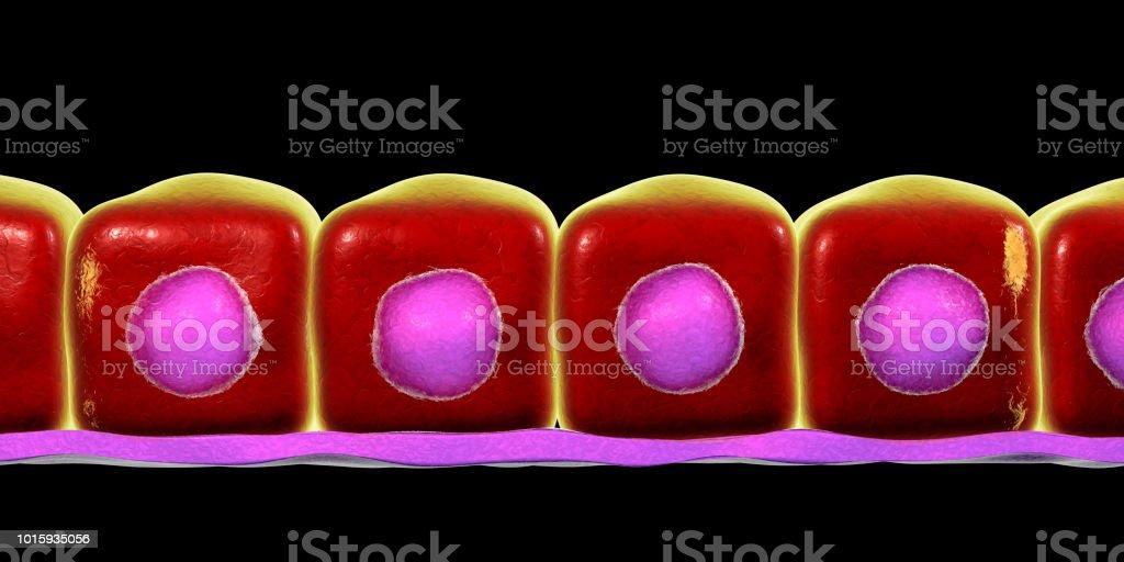 Simple cuboidal epithelium stock photo