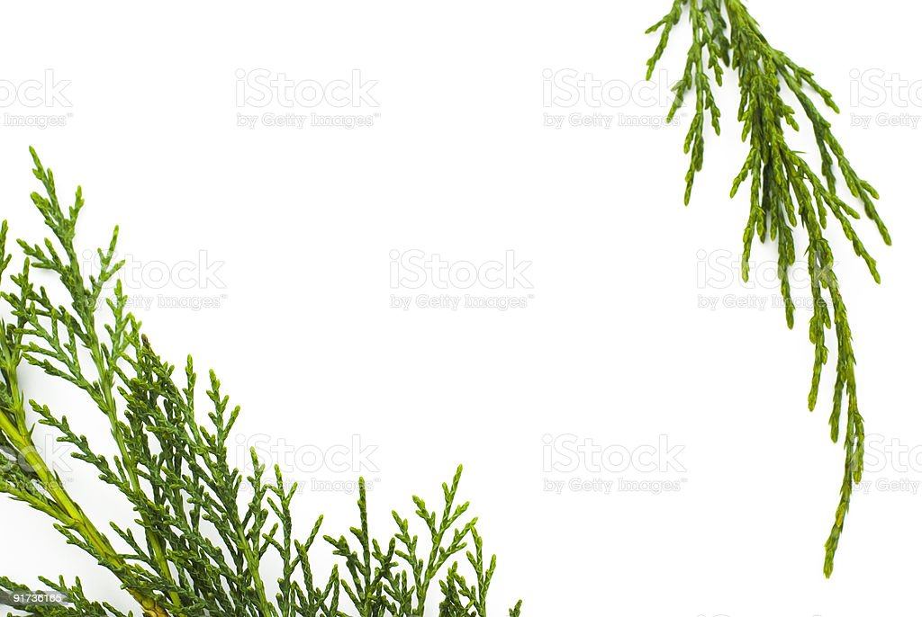 Simple cypress foliage frame - Copy Space royalty-free stock photo