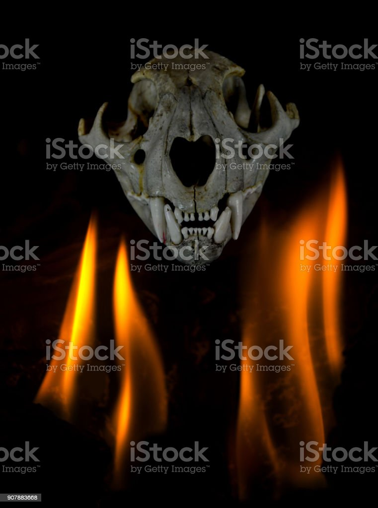 Simple flames on black with cougar skull stock photo
