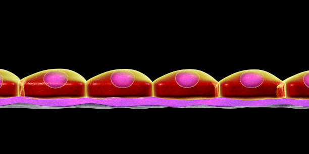Simple squamous epithelium stock photo