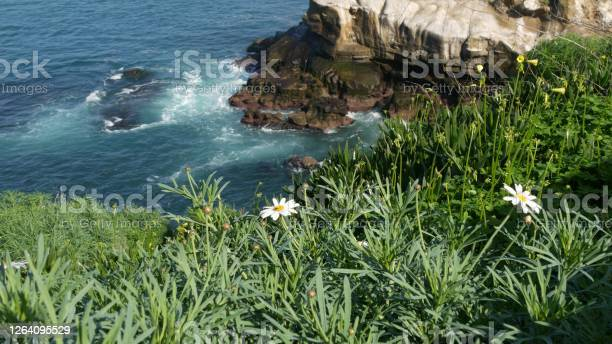 Photo of Simple white oxeye daisies in green grass over pacific ocean splashing waves. Wildflowers on the steep cliff. Tender marguerites in bloom near waters edge in La Jolla Cove San Diego, California USA