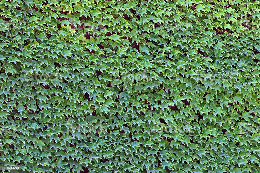 Simply Ivy royalty-free stock photo
