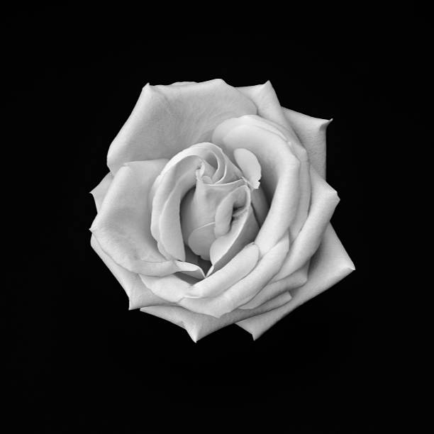 Simply rose black and white image picture id471085558?b=1&k=6&m=471085558&s=612x612&w=0&h=50hpopulf2awsi5twtpg xhe crhoz0xrkabdpmihhw=