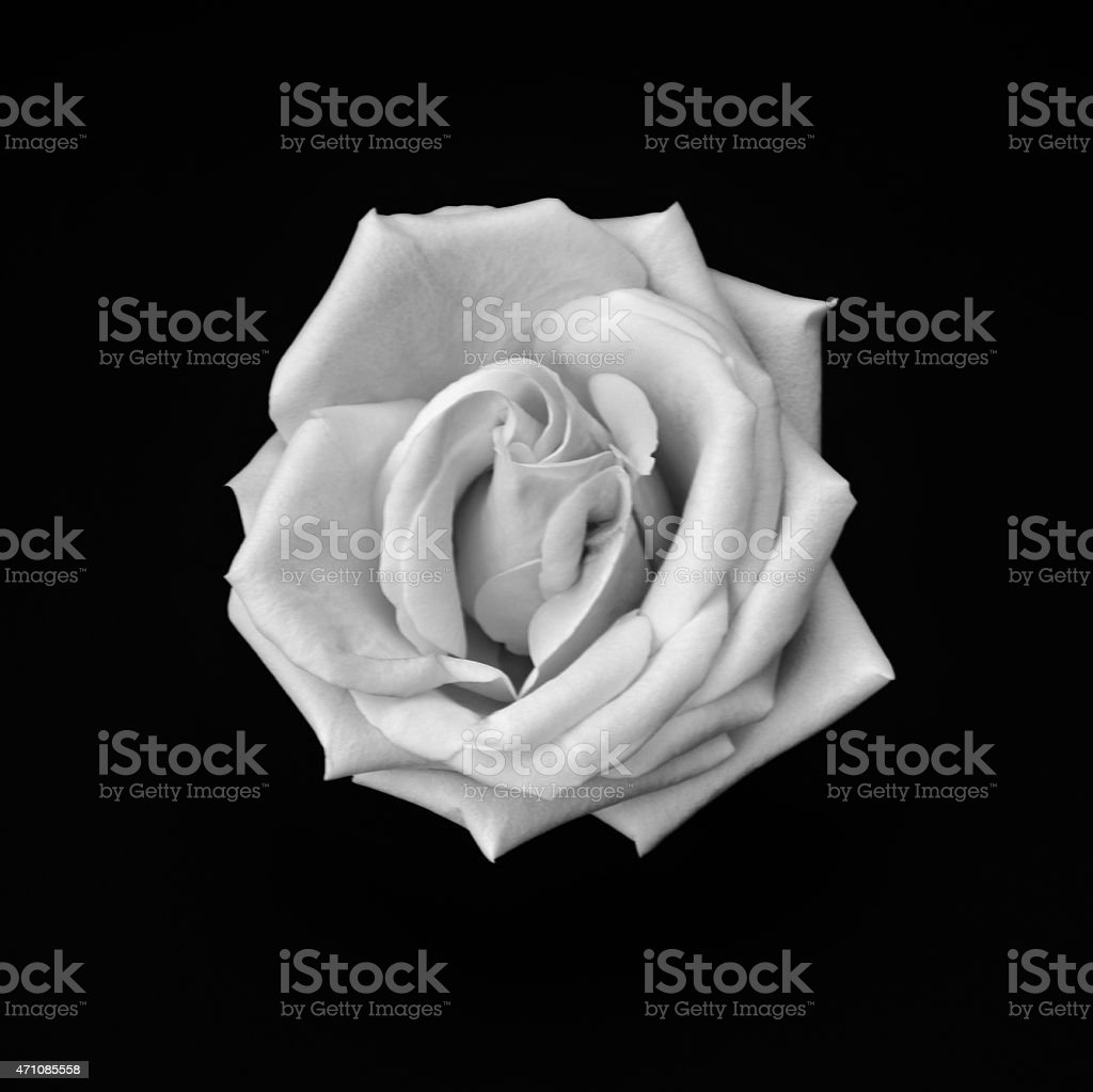 Simply Rose - Black And White Image stock photo