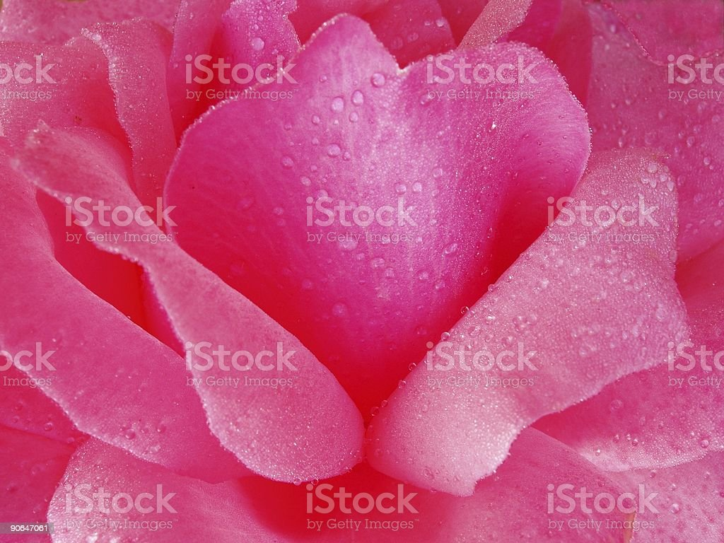 Simply Rose - Pink royalty-free stock photo