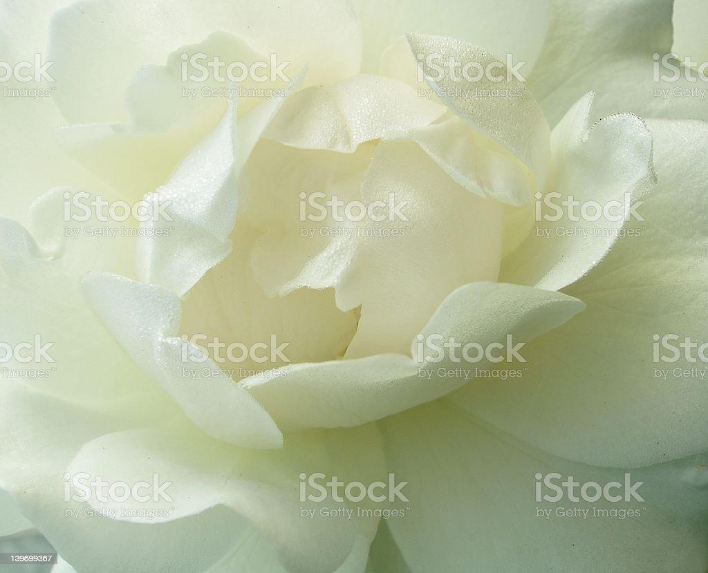 Simply Rose - White royalty-free stock photo