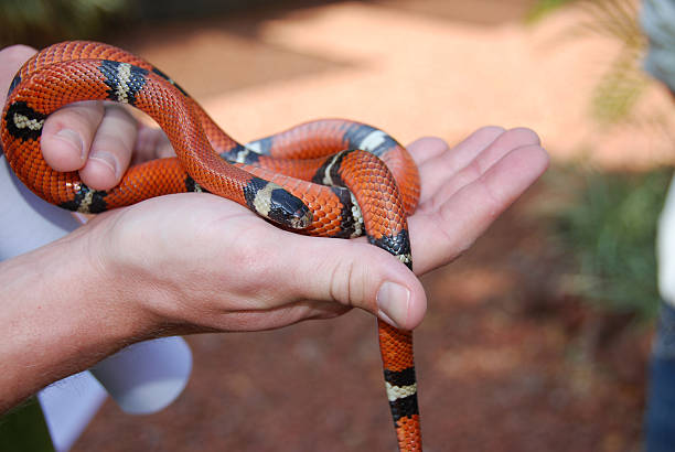 Sinaloan Milk Snake in the palm of your hand stock photo