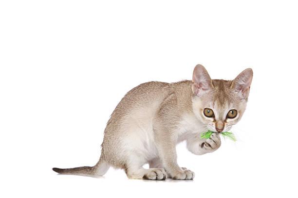 Singapura kitten picture id153753185?b=1&k=6&m=153753185&s=612x612&w=0&h=pj0dks5tfrbs9rky73eez3ho08uwtoug iskbiqzmo4=