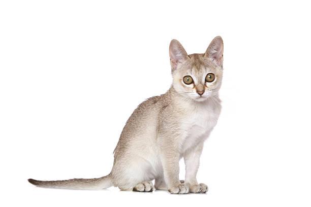 Singapura kitten picture id153753165?b=1&k=6&m=153753165&s=612x612&w=0&h=wx cfofvac1aj8q2dnydrovl4chnr7 7avgzfxbt7p8=