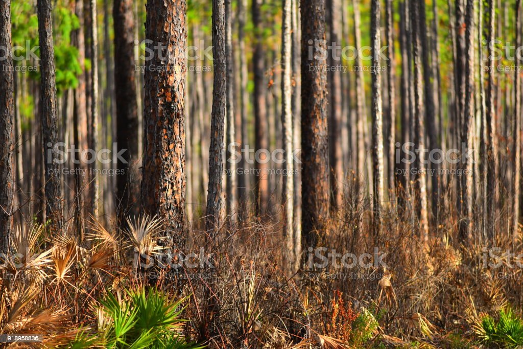 Singed forest understory with blackened pine tree trunks stock photo