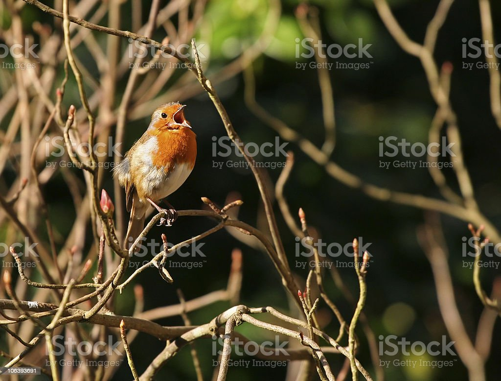 singin robin royalty-free stock photo