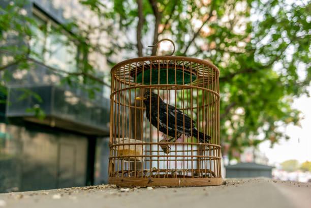 un oiseau dans une cage dans la rue traditionnelle de hutong beijing en chine - oiseau chanteur photos et images de collection