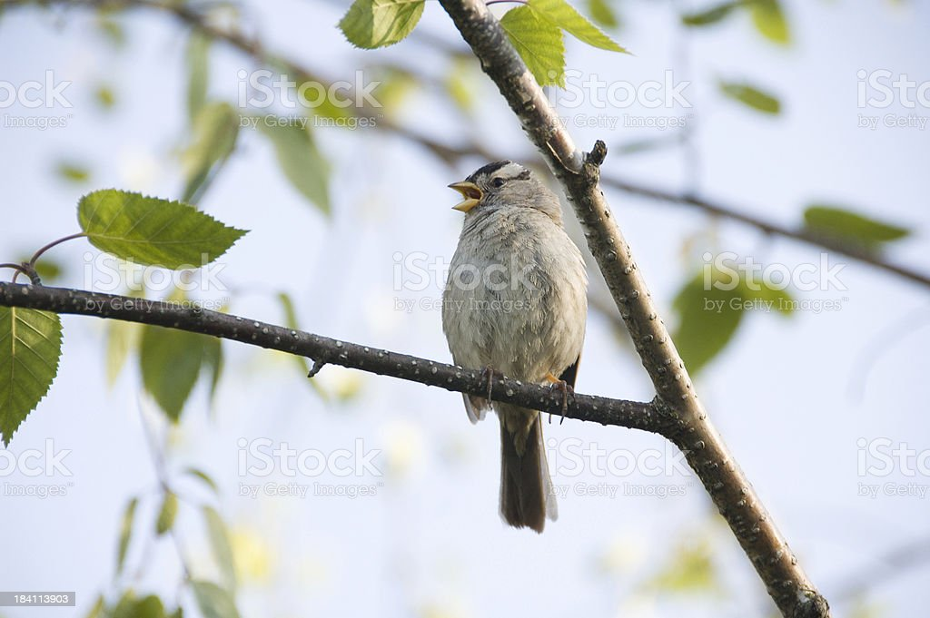 Singing Bird royalty-free stock photo